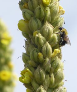 bumble on mullein plant